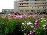 20071118-船橋市海神町南1・コスモス畑・秋-1517-DSC06156