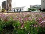 20071118-船橋市海神町南1・コスモス畑・秋-1518-DSC06171