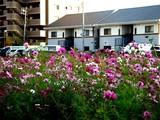 20071118-船橋市海神町南1・コスモス畑・秋-1517-DSC06158