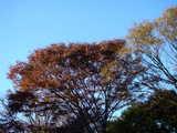 20071123-習志野市秋津・秋津公園・紅葉-1501-DSC06977