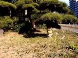 20071123-千葉市・幕張海浜公園・見浜園・コモ巻き-1347-DSC06750