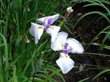 20080628-習志野市香澄・香澄公園・花菖蒲-1159-DSC00406