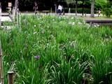 20080628-習志野市香澄・香澄公園・花菖蒲-1159-DSC00407