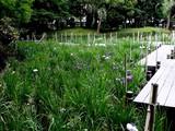 20080628-習志野市香澄・香澄公園・花菖蒲-1158-DSC00402