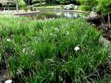 20080628-習志野市香澄・香澄公園・花菖蒲-1158-DSC00403