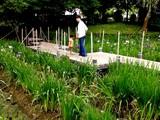 20080628-習志野市香澄・香澄公園・花菖蒲-1200-DSC00419