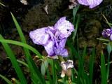 20080628-習志野市香澄・香澄公園・花菖蒲-1159-DSC00408