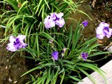 20080628-習志野市香澄・香澄公園・花菖蒲-1202-DSC00424