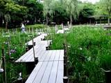 20080628-習志野市香澄・香澄公園・花菖蒲-1208-DSC00445