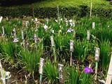 20080628-習志野市香澄・香澄公園・花菖蒲-1201-DSC00423