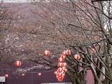 20090328_三井ガーデンホテルズららぽーと_桜_さくら_0949_DSC07904T