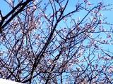 20090102_船橋市若松1_船橋競馬場_桜_1013_DSC07950