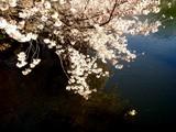 20090404_東京都新宿区_新宿御苑_桜_さくら_1517_DSC00270