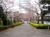 20090328_三井ガーデンホテルズららぽーと_桜_さくら_0949_DSC07902