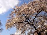20090404_東京都新宿区_新宿御苑_桜_さくら_1445_DSC00166