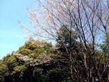 20090329_習志野市秋津5_秋津公園_さくら_桜_1247_DSC09418
