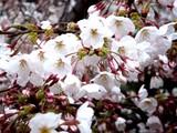20090401_東京都内_桜_さくら_1609_DSC09782