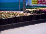 20090501_船橋市_ららぽーとTOKYO-BAY_花壇_0841_DSC04803