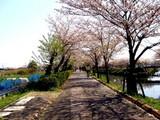 20090411_船橋市_海老川_桜_さくら_1006_DSC02258