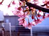 20090307_船橋市_海老川_桜_さくら_1009_DSC05262