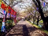 20090411_船橋市_海老川_桜_さくら_1008_DSC02274