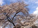 20090404_東京都新宿区_新宿御苑_桜_さくら_1445_DSC00167