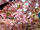 20090307_船橋市_海老川_桜_さくら_1008_DSC05257