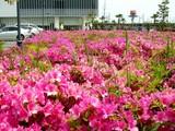 20090504_習志野市花園1_東京インテリア_ツツジ_1037_DSC05188