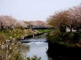 20090411_船橋市_海老川_桜_さくら_1004_DSC02252