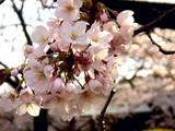 20090404_東京都新宿区_新宿御苑_桜_さくら_1456_DSC00203