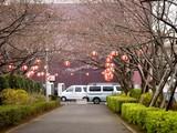 20090328_三井ガーデンホテルズららぽーと_桜_さくら_0949_DSC07906