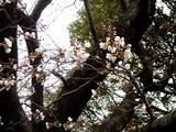 20090328_船橋市行田2_行田公園_東_桜_1108_DSC08154