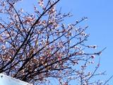 20090102_船橋市若松1_船橋競馬場_桜_1013_DSC07948