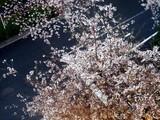 20090401_東京都内_桜_さくら_1607_DSC09763