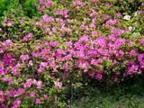 20090504_習志野市花園1_パナソニックさくら公園_1052_DSC05286