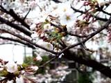 20090401_東京都内_桜_さくら_1609_DSC09780