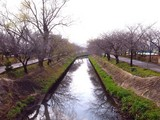 20090320_船橋市_海老川_桜_さくら_1259_DSC06354