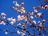 20090102_千葉県立船橋高等技術専門校_桜_1141_DSC08010