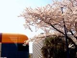 20090407_船橋市浜町2_ららぽーとTOKYO-BAY_桜_DSC01843T
