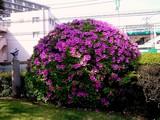 20090502_三井ガーデンホテルズ船橋ららぽーと_ツツジ_1440_DSC05064