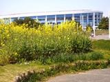 20090329_千葉市美浜区_幕張海浜公園_菜の花_1141_DSC09198