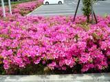 20090504_習志野市花園1_東京インテリア_ツツジ_1036_DSC05180