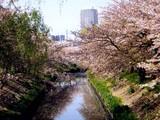 20090411_船橋市_海老川_桜_さくら_1008_DSC02268
