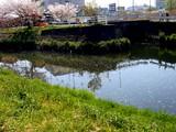 20090411_船橋市_海老川_桜_さくら_1006_DSC02259