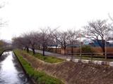 20090320_船橋市_海老川_桜_さくら_1259_DSC06356