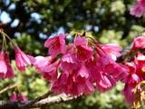 20090321_習志野市谷津3_谷津公園_桜_さくら_1004_DSC06716