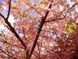 20090307_船橋市_海老川_桜_さくら_1007_DSC05249