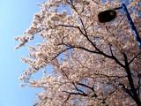 20090410_船橋市浜町2_ららぽーとTOKYO-BAY_桜_DSC02063