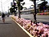 20090502_船橋市浜町2_IKEA前_街路_ツツジ_1428_DSC05009
