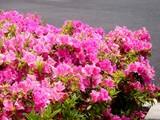 20090504_習志野市花園1_東京インテリア_ツツジ_1037_DSC05194